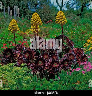 Aeonium atropurpureum growing in a Mediterranean garden - Stock Image