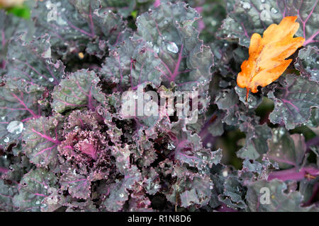 Kalettes a hybrid cross between Kale and Brussels sprouts growing in a country garden in autumn in Carmarthenshire rural Wales UK  KATHY DEWITT - Stock Image