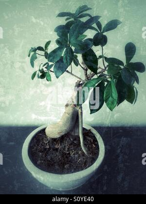 Bonsai plant in a pot - Stock Image