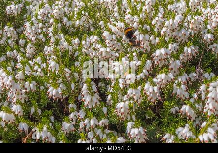 White winter flowering heather Erica Carnea in sunshine - Stock Image