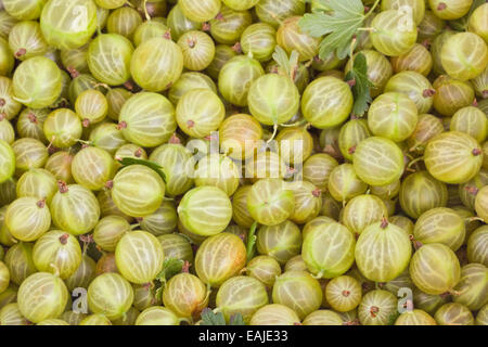 Green gooseberry closeup, fresh fruits, food background - Stock Image