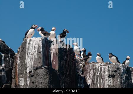 Puffins on rocks - Stock Image