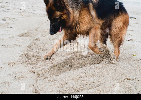 A German Shepherd dog digging in the sand at Falmouth's Gyllyngvase Beach 15-10-16 - Stock Image