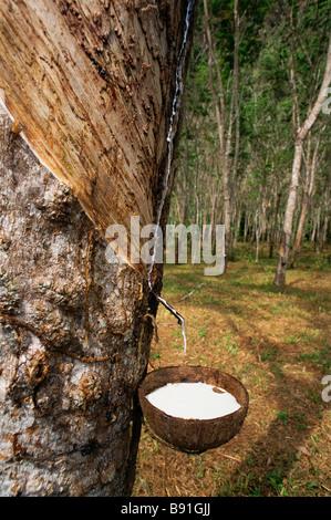 Rubber plantation - Stock Image