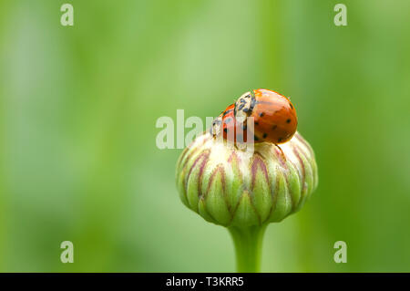 Two mating Asian Lady Beetles (Coccinellidae) on a Shasta Daisy bud (Leucanthemum x superbum) - Stock Image