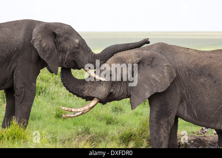 African Elephant (Loxodonta africana) two young elephant's showing affection at a water hole - Stock Image