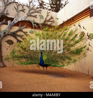 Male peacock displaying and spreading its brilliant tail feathers at Key Gardens, London, England © Jeremy - Stock Image