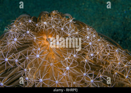 Close up image of Veretillum sp. sea pen on sea floor. Ambon, Indonesia - Stock Image