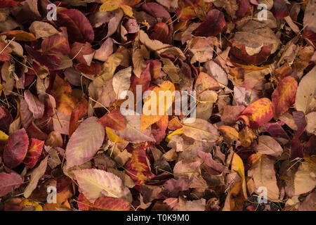 Autumn leaves in Hampton Court, London, united Kingdom - Stock Image