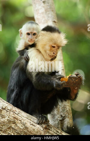 Female white-faced capuchin monkey (cebus capucinus) with baby, feeding on fruit of Pink Shower tree (Cassia grandis). - Stock Image