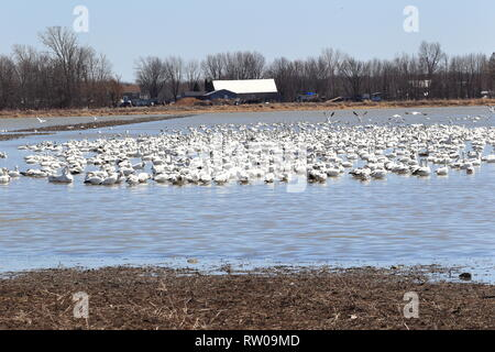 Quebec,Canada. Snow geese resting at RAMSAR site in Saint-Barthelemy during their spring migration north. - Stock Image