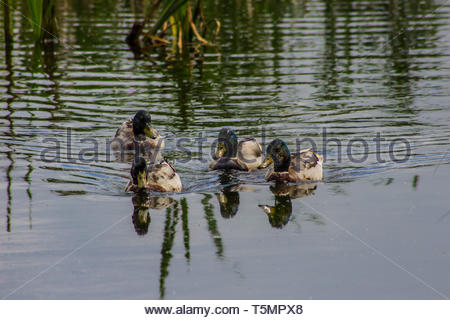 Four ducks heading for the camera across some water - Stock Image