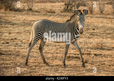 Side view of a solitary wild Grevy's Zebra, Equus grevyi, looking at camera, Buffalo Springs National Reserve, Isiolo County, Kenya, East Africa - Stock Image