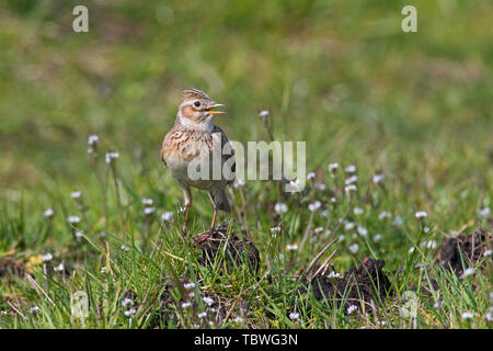 Eurasian skylark (Alauda arvensis) calling / singing in field / meadow in spring - Stock Image