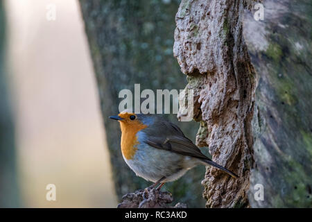 The European robin, known simply as the robin or robin redbreast in the British Isles, is a small insectivorous passerine bird, specifically a chat, t - Stock Image