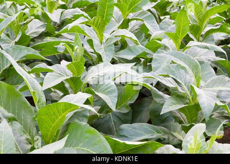 Tabacco plant - Stock Image