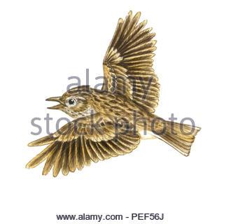 field larks alauda arvensis - Stock Image