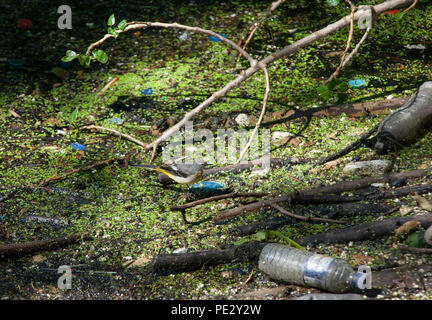 adult Grey Wagtail,(Motacilla cinerea), perched on floating rubbish in a polluted river, Brent River, near Brent Reservoir, London, United Kingdom - Stock Image