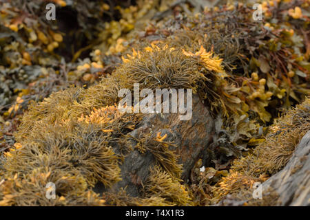 Brown and Yellow Seaweeds at Glengarriff Harbour - Stock Image