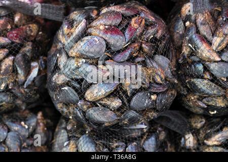 Local live mussels on display for sale on market stall at old street market - Mercado -  in Ortigia, Syracuse, Sicily - Stock Image