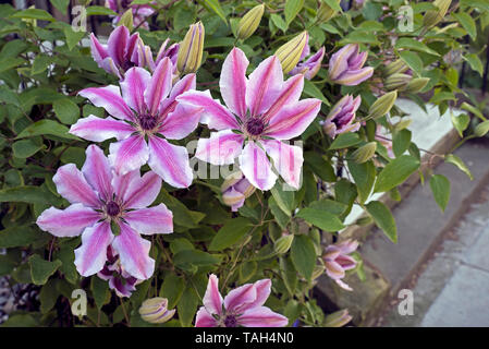 Pink and white clematis in bloom on a garden fence in Edinburgh, Scotland, UK. - Stock Image