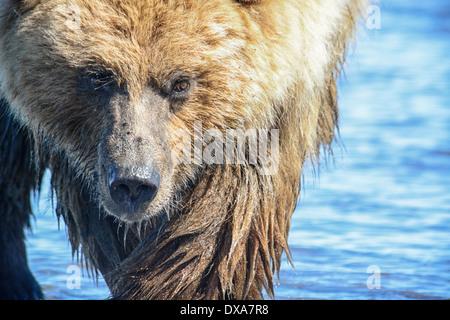 Close up of Grizzly Bear face, Ursus arctos, Lake Clark National Park, Alaska, USA - Stock Image