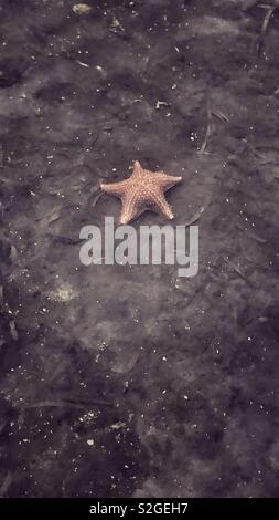 Red starfish in clear water, photo taken from above outside of the water - Stock Image
