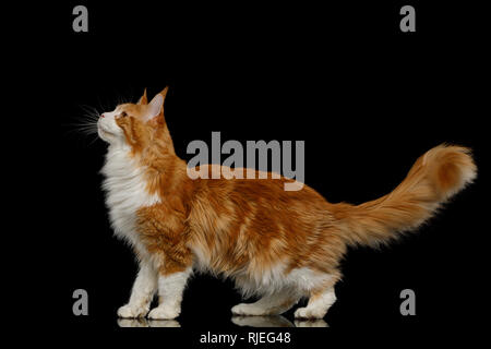 Playful Ginger Maine Coon Cat, Standing and Looking up Isolated Black Background, side view - Stock Image