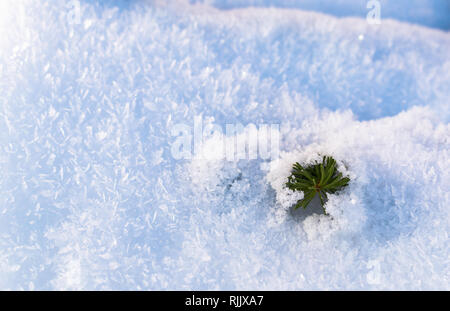 Evergreen branch in fresh snow - Stock Image