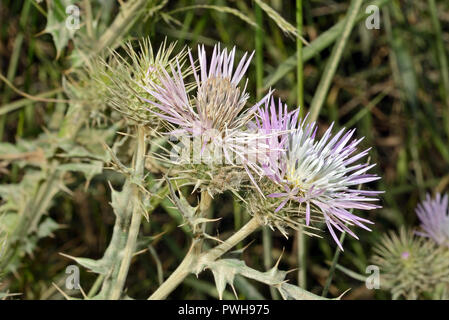 Galactites tomentosa (purple milk thistle) is a biennial herb usually found on barren ground or pastures. It is native to Mediterranean countries. - Stock Image