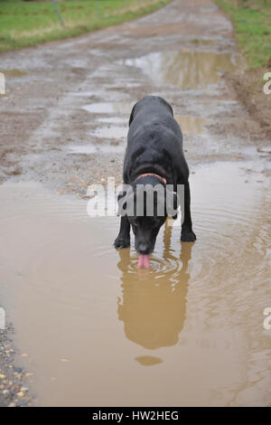 Black labrador retriever drinking from puddle containing dirty water - Stock Image