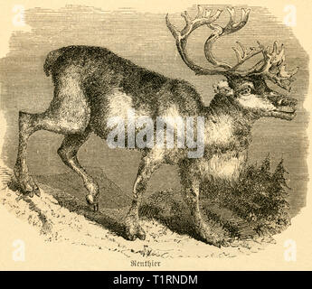 Finland, reindeer, image from: 'Das heutige Russland' (Russia today), published by H.v. Lankenau and L.v.d. Oelsnitz, pulishing house Otto Spamer, Leipzig, 1876. , Additional-Rights-Clearance-Info-Not-Available - Stock Image