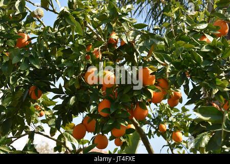 orange tree is israel - Stock Image