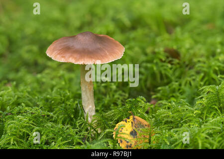 Fungi growing amongst moss on woodland floor. Tipperary, Ireland - Stock Image