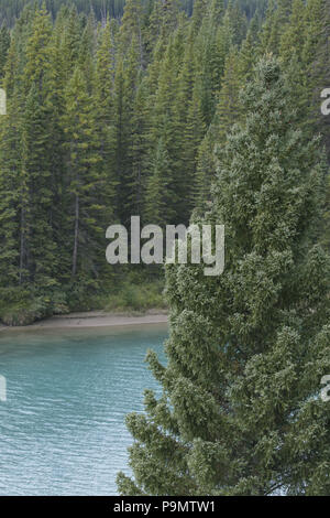 Beautiful blue water of Bow River glimpsed through dense evergreens in Alberta, Canada, along Bow Valley Parkway in the Canadian Rockies - Stock Image