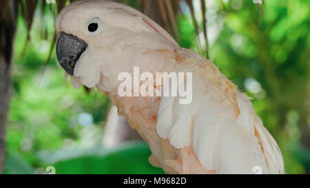cockatoo white parrot on the tree branch closeup.Beautiful white Cockatoo, Sulphur crested Cockatoo - Stock Image