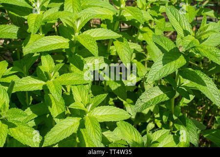A patch of mint in the sun growing in a herb garden in north east Italy - Stock Image