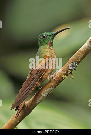 Fawn-breasted Brilliant (Heliodoxa rubinoides) adult male perched on branch  Vinicio Birdwatchers House, Nono-Mindo Road, Ecuador           February - Stock Image