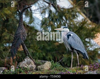Live Grey Heron (ardea cinerea) and Heron Iron Sculpture, Birdworld, Farnham, Surrey, England - Stock Image
