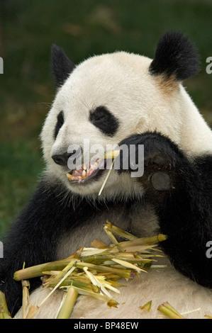 Giant panda feeding on bamboo stem Sichuan Province, China - Stock Image
