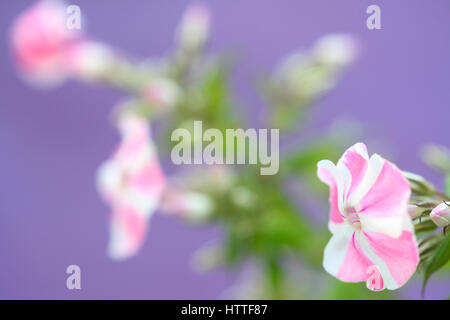 pink and white candy-striped phlox flower still life Jane Ann Butler Photography JABP1885 - Stock Image