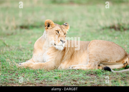 A lioness on the Masai Mara in Kenya. - Stock Image
