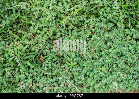 Euphorbia prostrata, a milky invasive weed very undesirable mixed with Digitaria sanguinalis, hairy crabgrass in a cut lawn in Kansas, USA. - Stock Image
