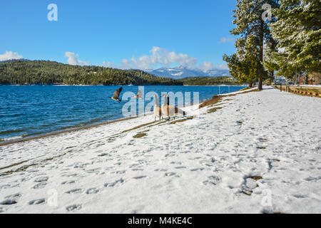 A flock of Canada Geese enjoy a sunny winter day on the snowy beach of a mountain lake in North America as some - Stock Image