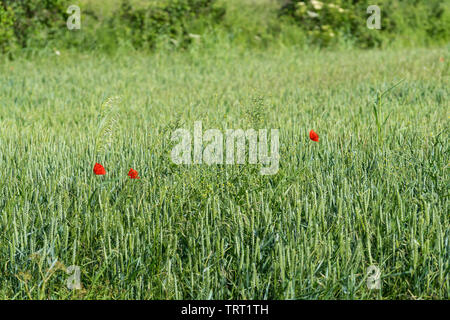 Poppies in field - Stock Image