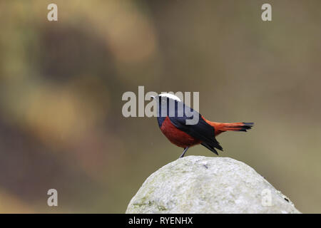 White-capped Water Redstart - Stock Image