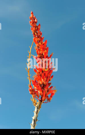 Ocotillo blossom near the San Felipe Wash, Anza-Borrego Desert State Park, CA 110220_39431 - Stock Image
