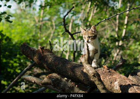Cute kitty is standing on a tree trunk in the woods. The kitten is a domestic short-haired cat. - Stock Image