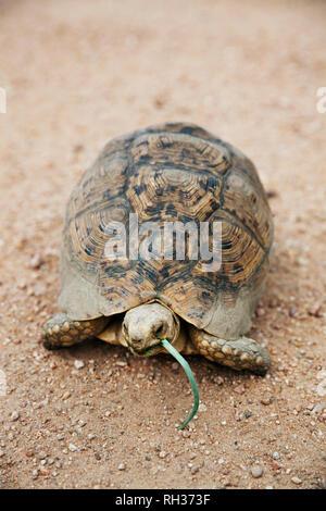 Tortoise eating grass - Stock Image