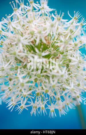 romantic mount everest allium on blue in a soft contemporary style Jane Ann Butler Photography  JABP1867 - Stock Image